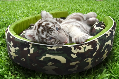Baby White Tiger Laying In A Mattress Stock Photo